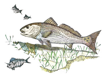Redfish Drawing Redfish amp PinfishRedfish Drawing