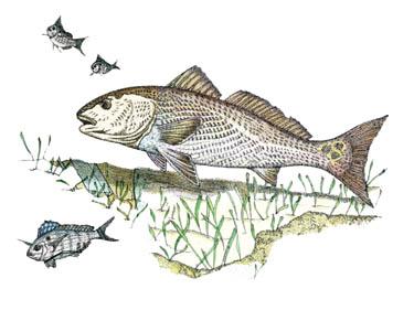 Redfish Drawing Redfish amp PinfishRedfish Drawing