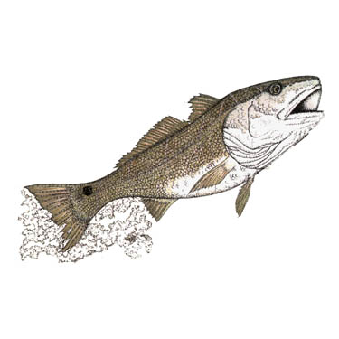 Redfish Drawing RedfishRedfish Drawing